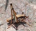 Unknown Orthopteran - Eremopedes balli - male