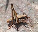 Unknown Orthopteran - Eremopedes balli - male