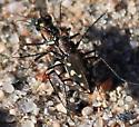 unknown pr Tiger Beetle - Cicindelidia sedecimpunctata - male - female