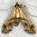 Eastern Lineodes Moth  - Lineodes fontella