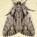 Scarlet Underwing Moth - Catocala coccinata