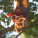 Moth on Banana - Amphion floridensis
