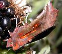 Blackberry-eating moth - Scoliopteryx libatrix