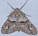 Moth, dorsal