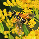 sawfly - Tenthredo basilaris - female
