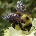 Bumble bee - Bombus griseocollis - female