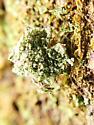 Chrysopidae larva - Leucochrysa pavida