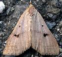 Moth 2 - Bleptina caradrinalis