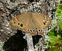 unknown brown - Lethe anthedon - male