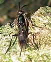 Chalcid Wasp - Metapelma spectabile - female