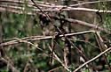 Dragonfly - Didymops transversa - male