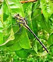 Gomphurus externus?  - Gomphurus externus - female