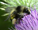 Bombus flavifrons or sitkensis? (or?) - Bombus - female