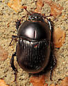 Beetle - Geotrupes