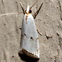 Milky Urola Moth - Hodges #5463 - Argyria lacteella