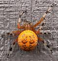 Marbled Orb Weaver Spider? - Araneus marmoreus - female
