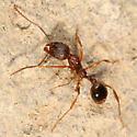 Myrmicine ant - Aphaenogaster