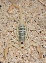 Giant Sand Scorpion - Smeringurus mesaensis