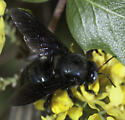 Arizona Carpenter Bee ? - Xylocopa californica - male