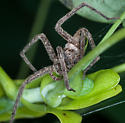 Long Legged spider in a tree - Pisaurina mira