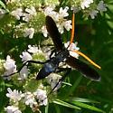 Tarantula Hawk - Pepsis menechma - male
