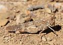 Grasshopper - Trimerotropis occidentalis - female