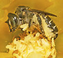 Family Megachilidae, Unknown Species - Lithurgopsis gibbosa