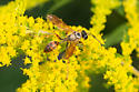 Thread-waist wasp on goldenrod - Isodontia elegans
