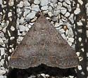 Brownish blue moth - Bleptina caradrinalis