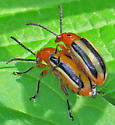 Lema daturaphila - male - female