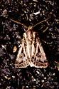 Swordsman Dart - Hodges #10648 - Agrotis gladiaria