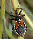 Assassin Bug - Apiomerus californicus