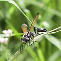 Isodontia sp. - Isodontia mexicana
