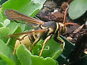 Yellow hornet [mimic] with furry/rusty wings - Paranthrene robiniae - female