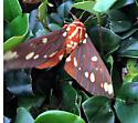 Moth found in Brunswick Georgia - Citheronia regalis