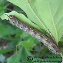 Southern Pink-striped Oakworm - Anisota virginiensis