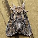 Hyperaeschra georgica - Paraeschra georgica