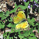 Orange Sulphur? - Colias eurytheme