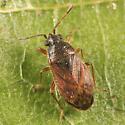 small bug - Stygnocoris sabulosus - female
