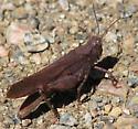 Crackling Forest Grasshopper - Trimerotropis verruculata - female