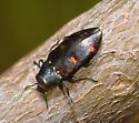 Beetle ID - Chrysobothris chrysoela