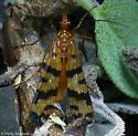 Scorpionfly - Panorpa helena - male