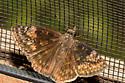 possibly female Erynnis baptisiae - Erynnis baptisiae