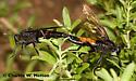 Mydas Fly pair mating - Mydas