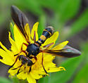 thick-headed fly Physoconops? - Physoconops excisus - female