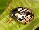 Calligrapha beetle - Calligrapha vicina
