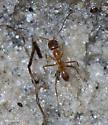 Dorymyrmex bureni - female