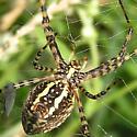 Banded Garden Spider - Argiope trifasciata - female