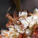 ID for an ant on buckwheat? - Myrmecocystus wheeleri