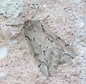 Spring Cankerworm Moth - Paleacrita vernata - male